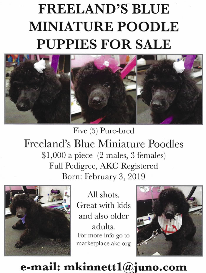 Boxwood Poodles - Pets Available